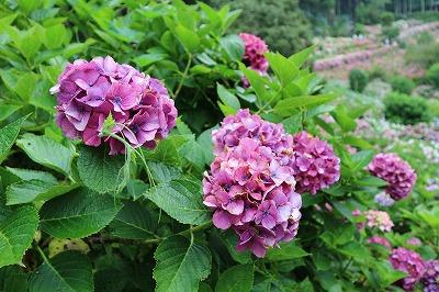 服部農園あじさい 赤紫