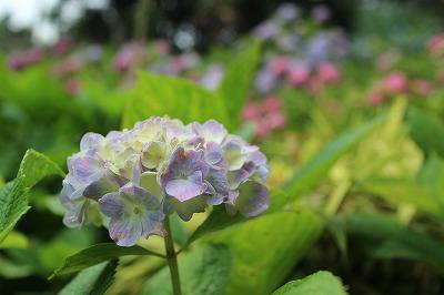 服部農園あじさい 薄紫