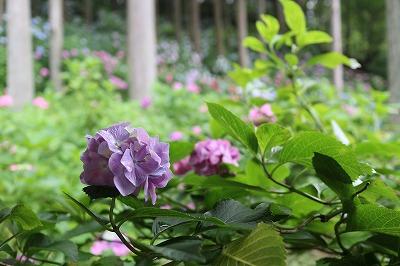 服部農園あじさい 紫
