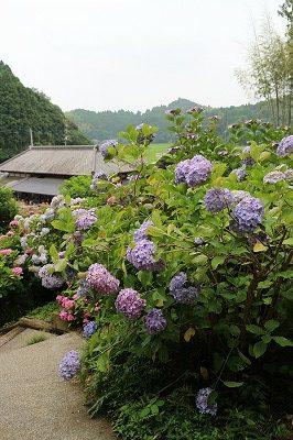 服部農園あじさい屋敷 紫のアジサイ