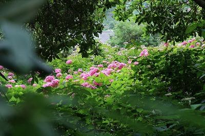 服部農園あじさい 木々の向こうの花畑