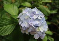 花野辺の里 アジサイ青