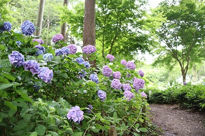 花野辺の里 アジサイうす紫と青