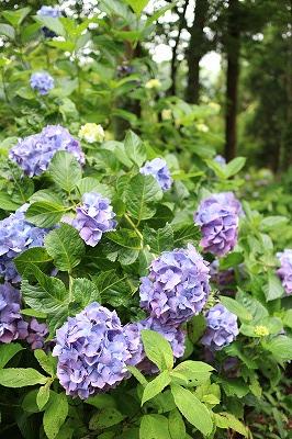 花野辺の里 アジサイうす紫