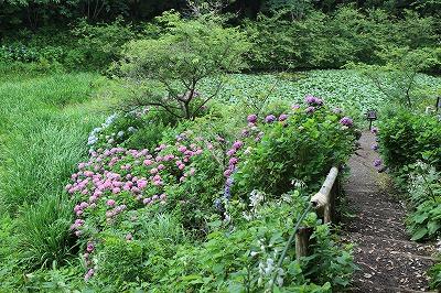花野辺の里 蓮の池の手前にアジサイ