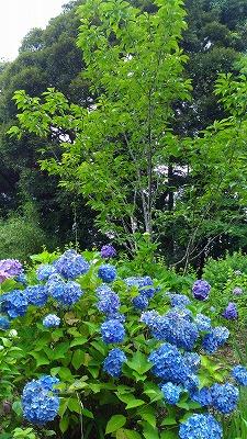 花野辺の里 アジサイ濃い青