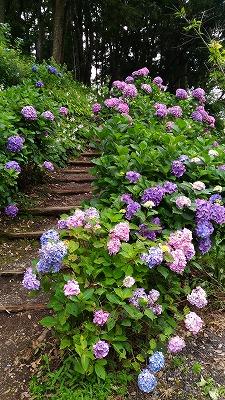 花野辺の里 アジサイの階段