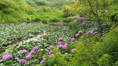 花野辺の里 蓮の池の周りに咲くあじさい
