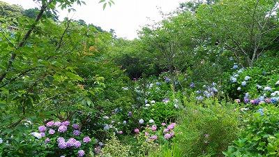 花野辺の里 アジサイの庭?!