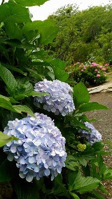 花野辺の里 アジサイ薄い紫