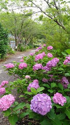 花野辺の里 アジサイ赤紫