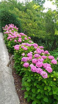花野辺の里 道端のアジサイ