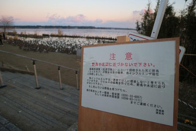 白鳥の里(茨城県北浦・潮来)鳥インフル!?