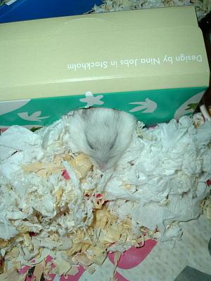 巣から顔を出して寝るハムスター