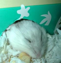 ハムスターの寝顔