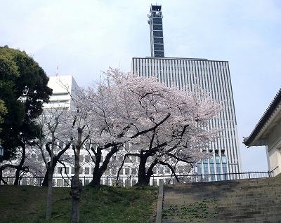 桜。千代田区役所をバックにして